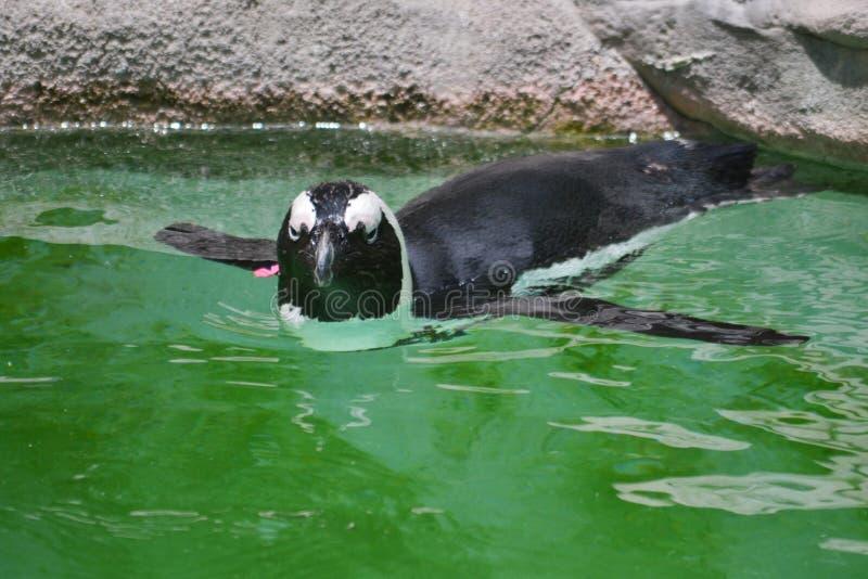 Download 游泳企鹅 库存图片. 图片 包括有 企鹅, 动物园, 游泳, 佛罗里达, 双翼飞机, 坦帕, 本质, 池塘 - 62530155