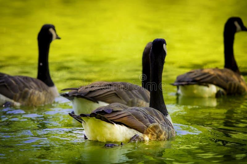 游泳入距离的鹅群在一个夏日 免版税库存照片