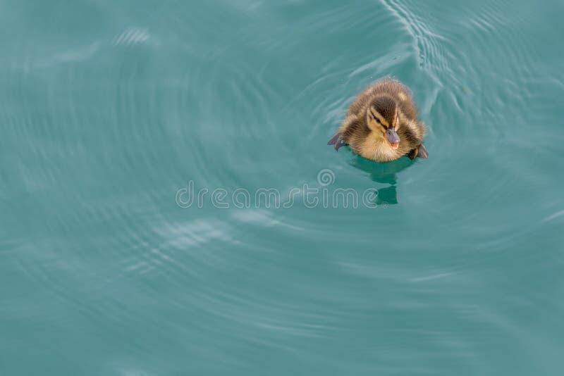 游泳右上角的鹅小鸡 库存图片