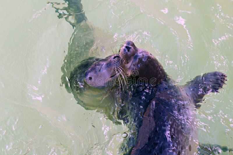 游泳和使用在水中的两逗人喜爱的年轻封印 免版税库存照片