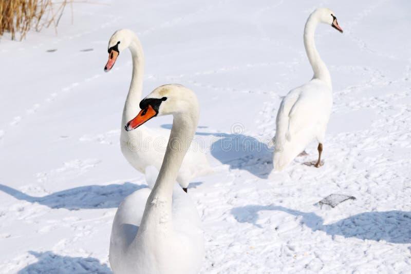 游泳和走在半冻水或河的雪白天鹅盖用雪和冰在冬天 库存图片