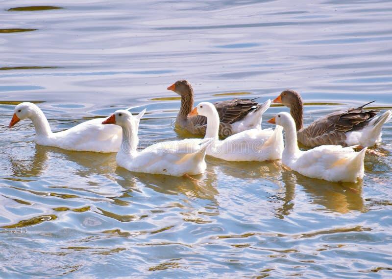游泳在一个小湖的白色和灰色鹅oca padovana 免版税库存图片