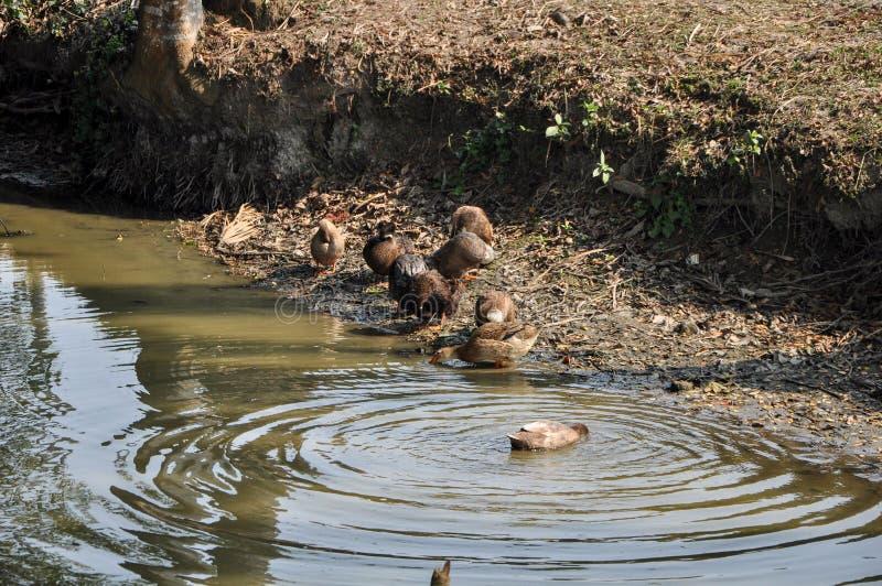 游泳在一个池塘的一个小组鸭子在村庄 免版税图库摄影