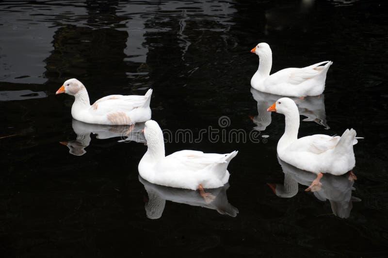 游泳在一个湖的四只白色鸭子在镇静黑水中 库存图片