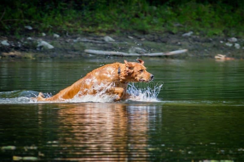 游泳在一个湖的美丽的金毛猎犬在森林里 库存图片