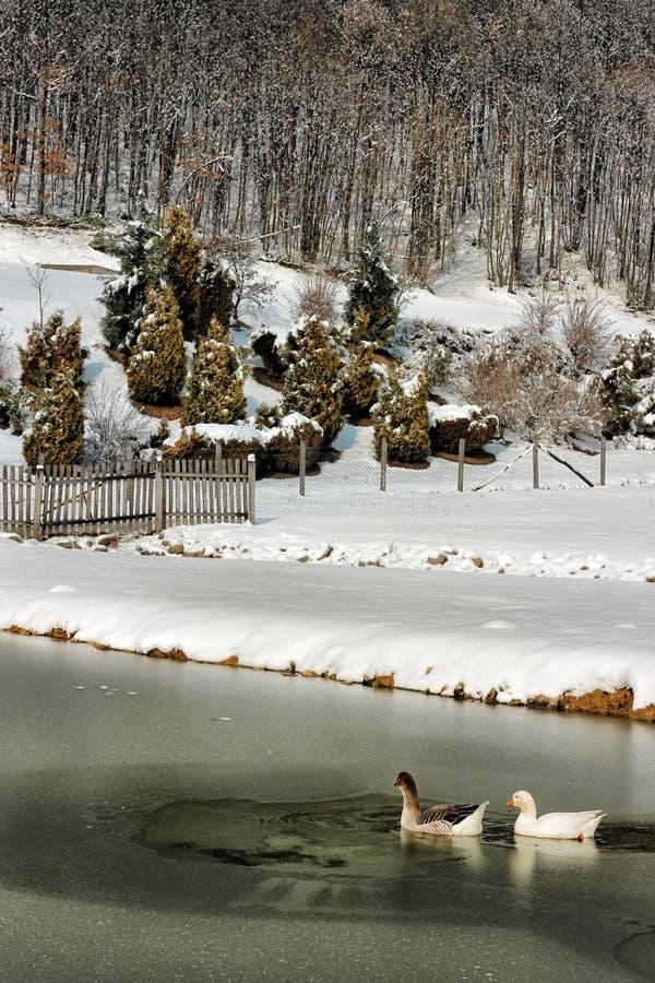 游泳在一个冻湖的两只鸭子 免版税库存照片