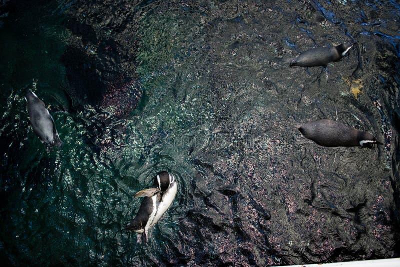 游泳在与他的兄弟的一个储水箱的企鹅 免版税库存图片