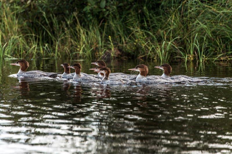 游泳在两条河湖的一个小组年轻共同的懒人小鸡在阿尔根金族国家公园安大略,加拿大 免版税库存图片