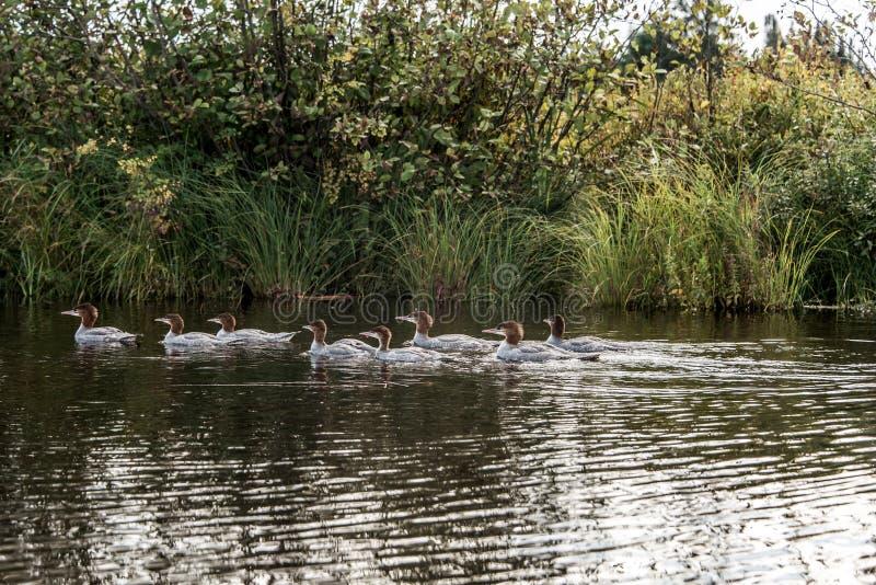 游泳在两条河湖的一个小组年轻共同的懒人小鸡在阿尔根金族国家公园安大略,加拿大 免版税库存照片