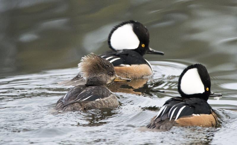 游泳在乔治亚池塘的男性和母戴头巾秋沙鸭 免版税库存图片