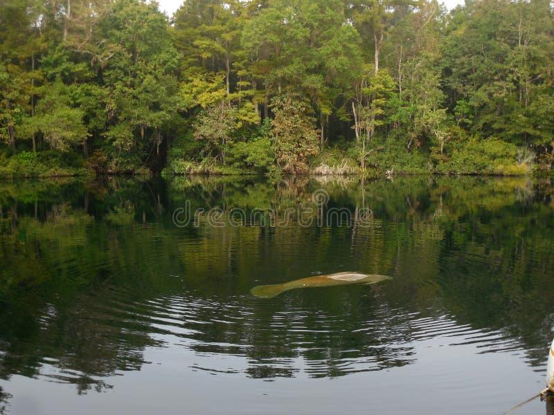 游泳在宽湖Wakulla的野生海牛反弹佛罗里达 图库摄影