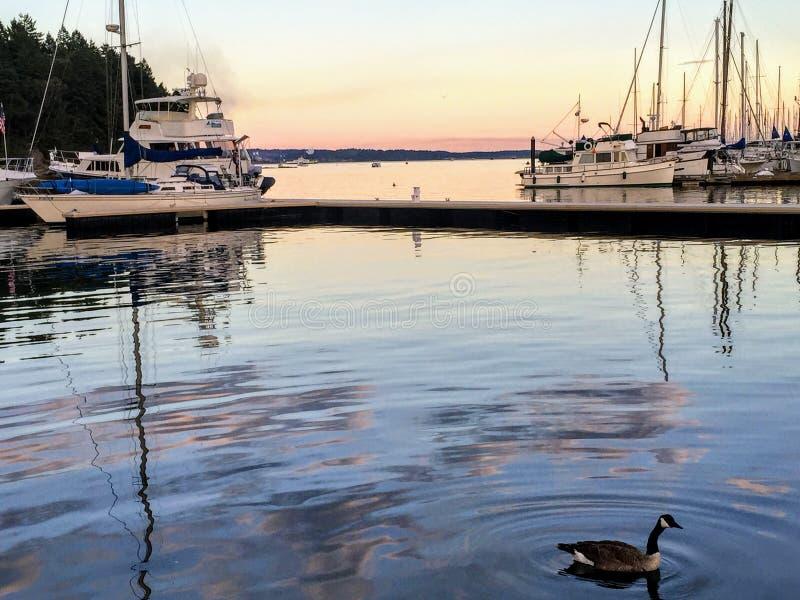 游泳在小游艇船坞的鹅在日落在纳奈莫,加拿大 免版税库存图片