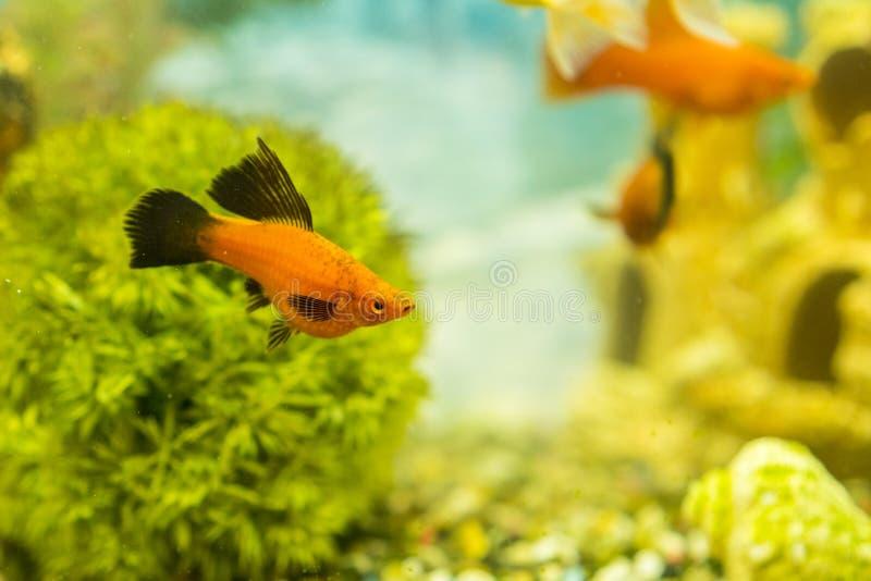 游泳在有植物的水族馆的热带五颜六色的鱼 在淡水水族馆的鱼有绿色美丽被种植的热带的 图库摄影