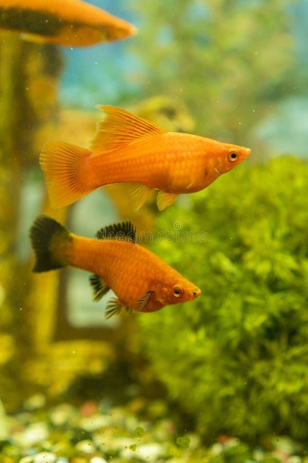 游泳在有植物的水族馆的热带五颜六色的鱼 在淡水水族馆的鱼有绿色美丽被种植的热带的 库存照片