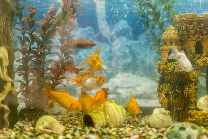 游泳在有植物的水族馆的热带五颜六色的鱼 钓鱼在有绿色美丽的淡水水族馆被种植的 免版税图库摄影