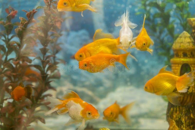 游泳在有植物的水族馆的热带五颜六色的鱼 钓鱼在有绿色美丽被种植的热带的淡水水族馆 免版税库存图片