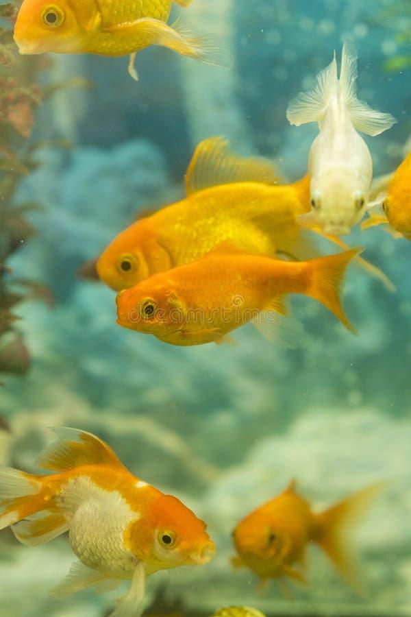 游泳在有植物的水族馆的热带五颜六色的鱼 o 库存照片