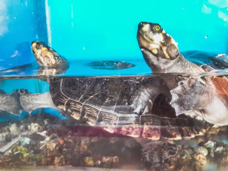 游泳在有石头的一水族馆的两只乌龟在其他顶部 图库摄影