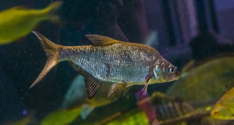 游泳在水中的一个共同的鲂的特写镜头画象,发光的银鱼,普遍的宠物在水产养殖方面 免版税库存照片