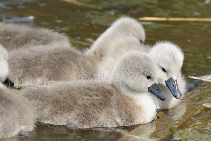 游泳在水中的小天鹅 免版税库存照片