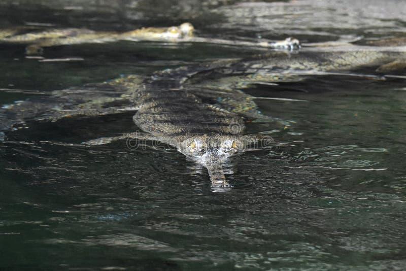 游泳在水中的Gavial鳄鱼 免版税库存图片