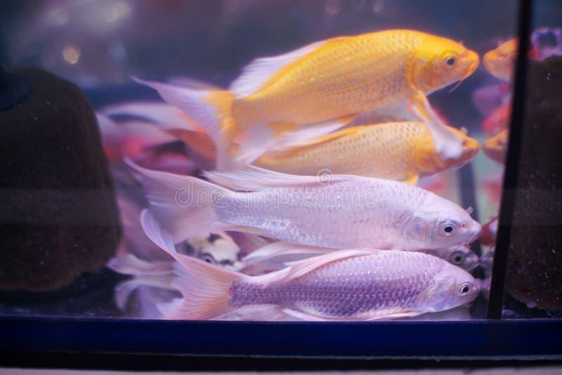 游泳在水族馆的美丽的金和银鱼 库存图片