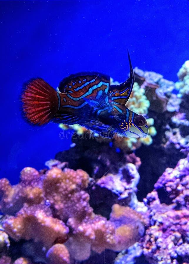 在水族馆的美好的mandarinfish游泳 库存照片