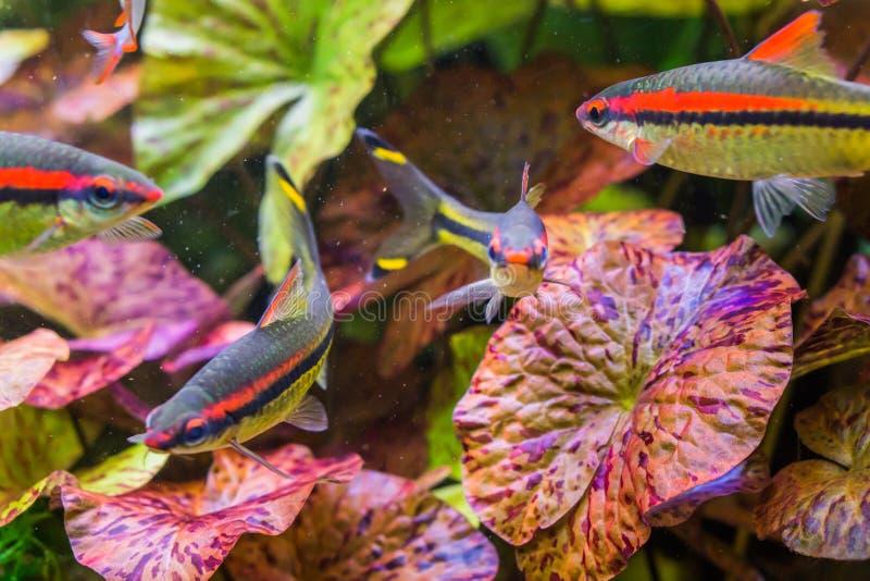 游泳在水族馆,与黑,黄色和红色条纹,海洋生物的银色颜色的小和五颜六色的四鱼 库存图片