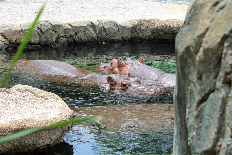 游泳在水池的河马 库存照片