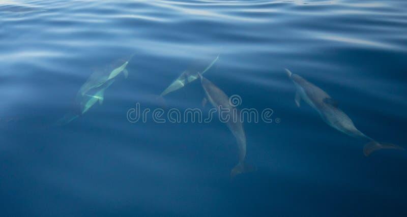 游泳在水面下在海峡群岛国家公园附近的五只共同的bottlenosed海豚小荚在离加利福尼亚海岸美国的附近 免版税库存照片