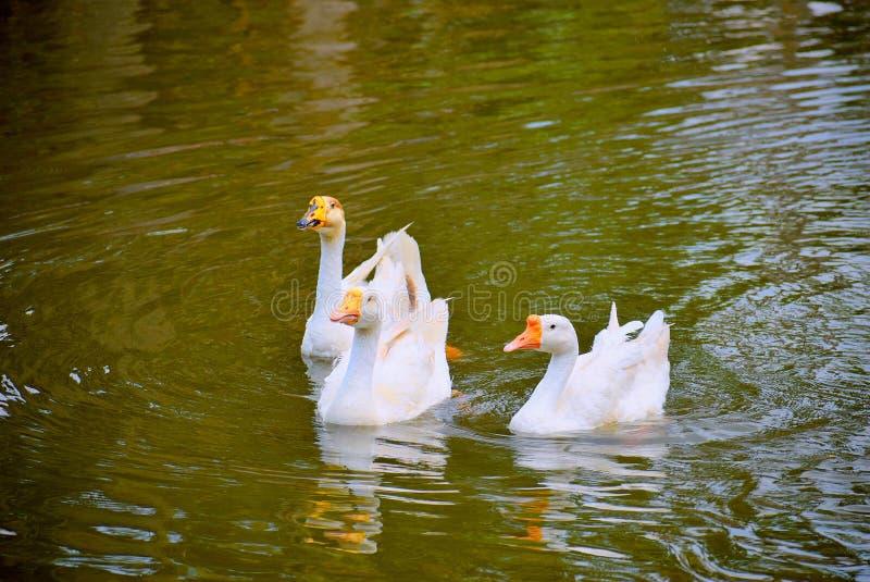 游泳在池塘的三只天鹅 免版税库存照片