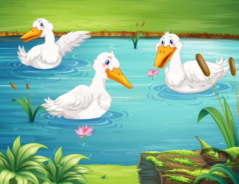 游泳在池塘的三只鸭子 向量例证