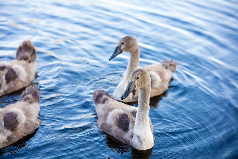 游泳在池塘的幼小天鹅 免版税库存照片