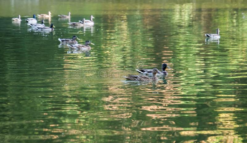 游泳在池塘的逗人喜爱的鸭子 免版税库存图片
