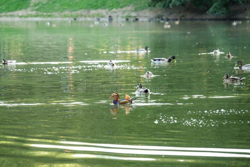 游泳在池塘的逗人喜爱的鸭子 库存照片