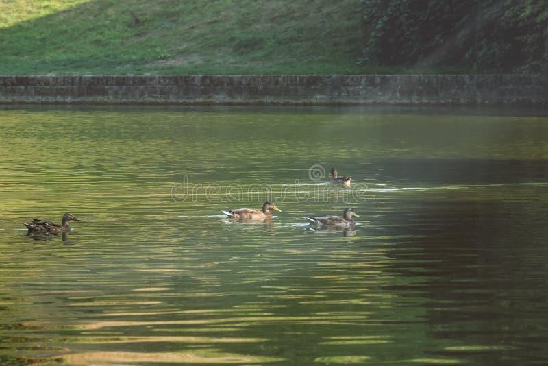 游泳在池塘的逗人喜爱的鸭子 库存图片