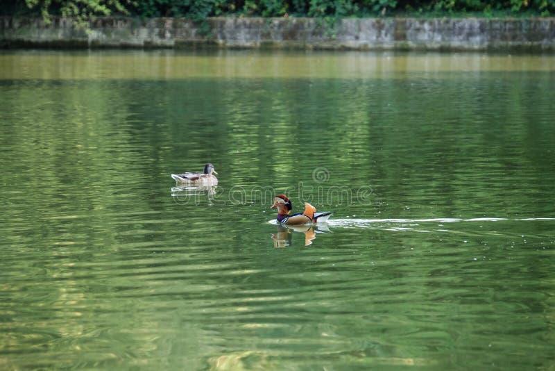 游泳在池塘的逗人喜爱的鸭子 免版税库存照片