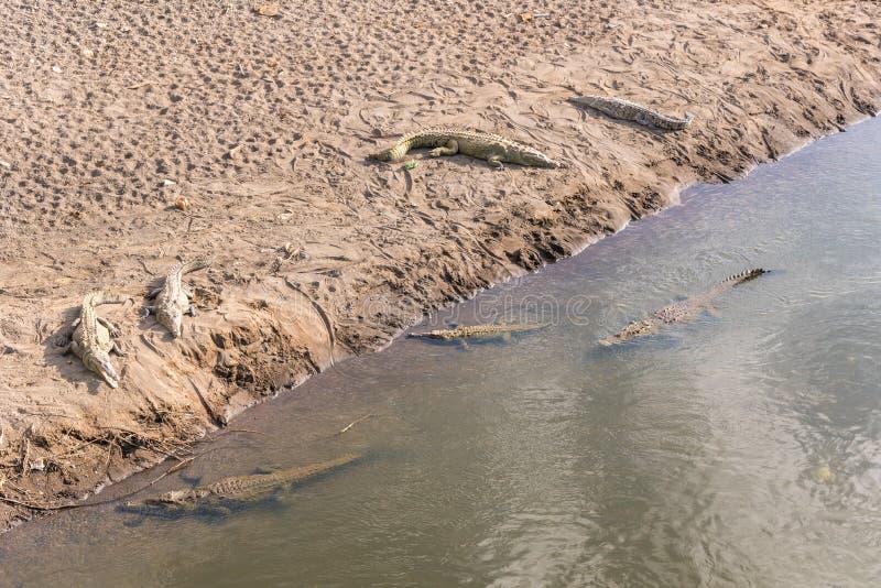 游泳在河的危险鳄鱼 免版税库存照片