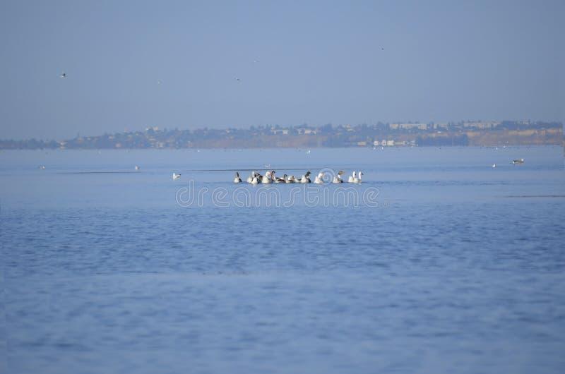 游泳在河的迷人鸭子群  免版税图库摄影