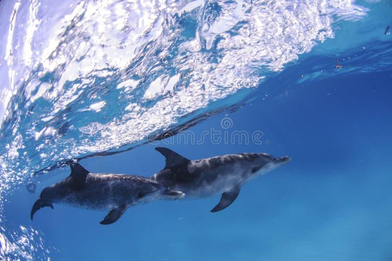 游泳在波浪下的对海豚在巴哈马 免版税库存照片