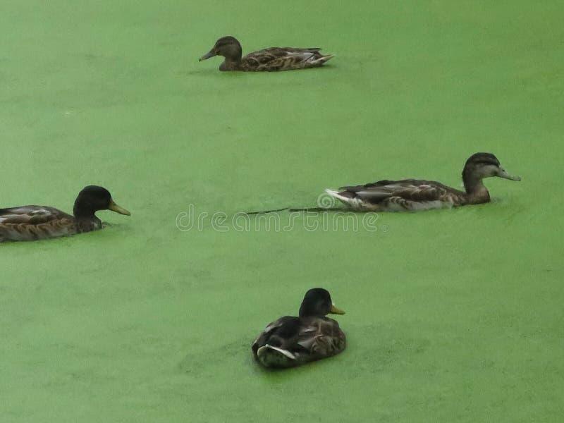 游泳在浮萍水池的四只棕色鸭子在Vondelpark的在阿姆斯特丹 免版税图库摄影