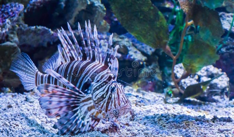 游泳在海水族馆危险和毒性动物宠物的底部的美丽的热带狮子鱼 库存图片