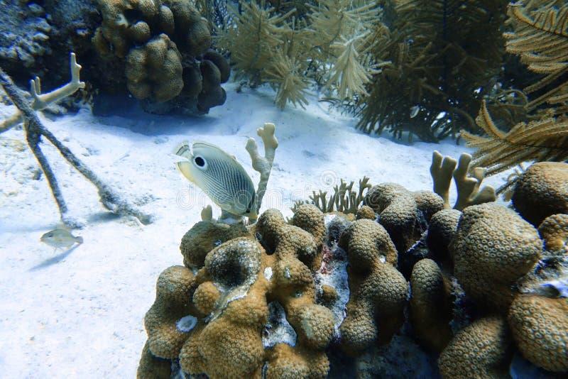 游泳在海洋的四被注视的蝴蝶鱼 库存图片
