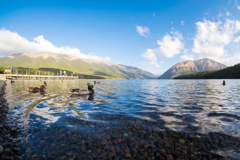游泳在清楚的湖的鸭子的风景图象在Nelson湖,新西兰 免版税库存图片