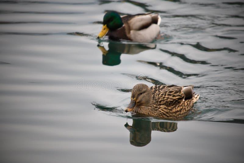 游泳在湖关闭的公和母野鸭鸭子  库存照片
