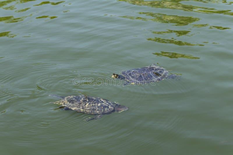 游泳在湖的乌龟 免版税库存图片