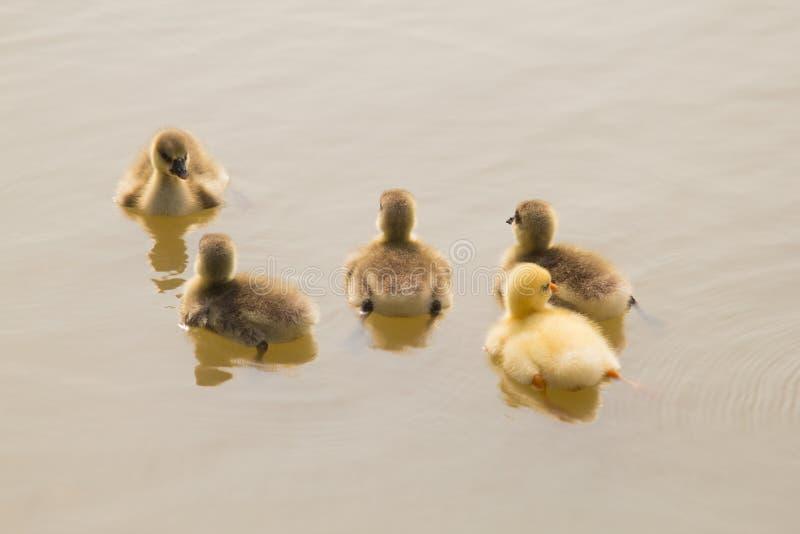 游泳在湖的五只非常小灰雁幼鹅 库存图片