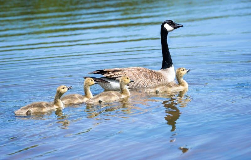 游泳在湖的加拿大鹅和可爱的幼鹅 免版税库存图片