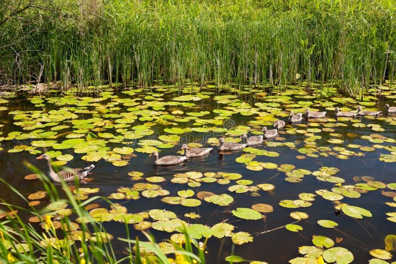 游泳在湖的鸭子和鸭子 库存照片
