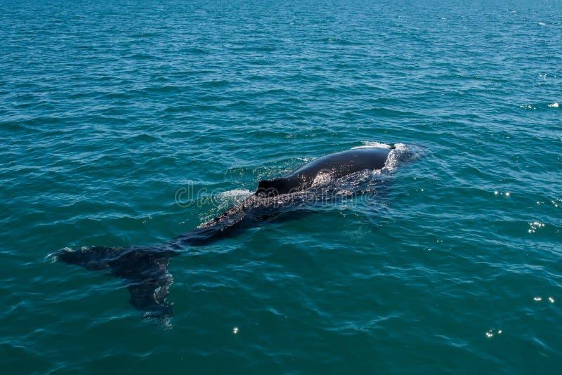 游泳在澳大利亚的驼背鲸 库存照片